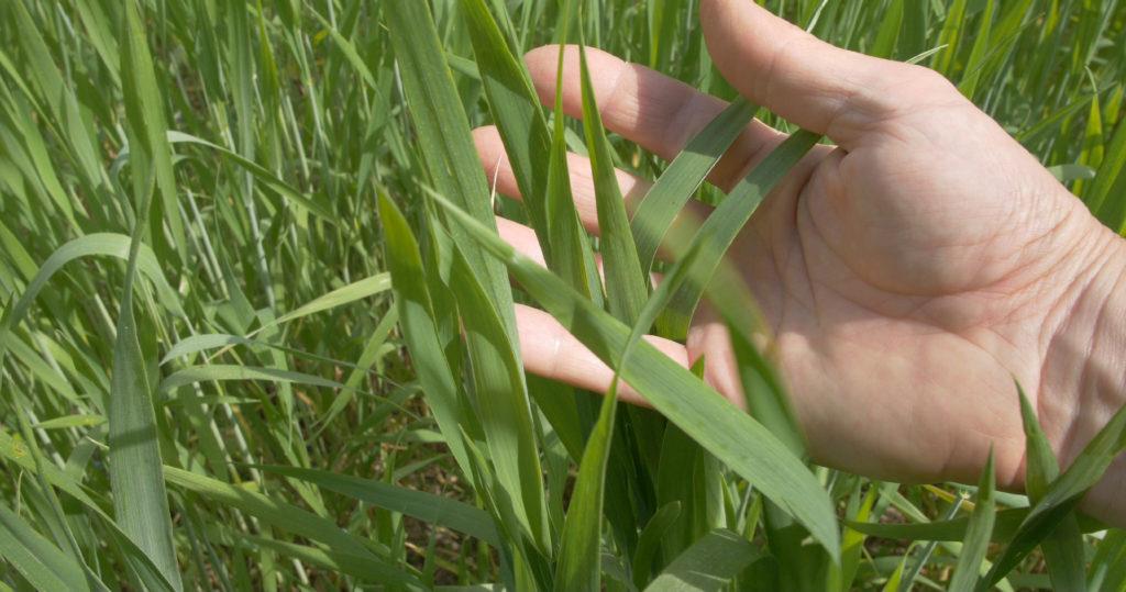 Cultiver du blé sans pesticide ni engrais de synthèse - Moulin de Sugy