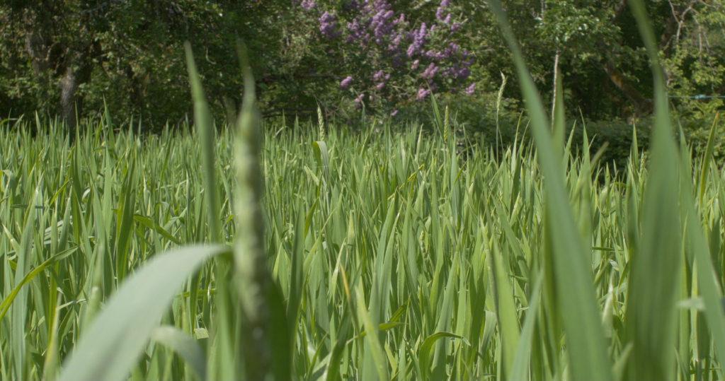 Blés au stade de l'épiaison vers le mois de mai, alors que les lilas fleurissent - Moulin de Sugy