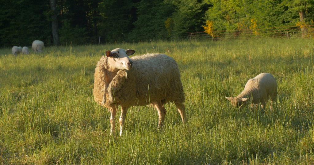 Brebis et son agneau dans le Pré de la roue - Moulin de Sugy