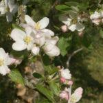Fleurs de pommier au printemps - Moulin de Sugy