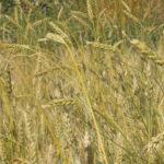 Blés sans herbicide au début de l'été - Moulin de Sugy