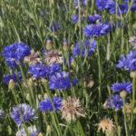 Bleuets ou centaurées, pour attirer les pollinisateurs - Moulin de Sugy
