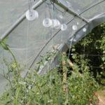 Tunnel pour la culture des tomates, évitant l'utilisation de fongicide - Moulin de Sugy
