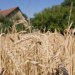 Variété paysanne de blé ancien, dite de Puylaurens - Moulin de Sugy