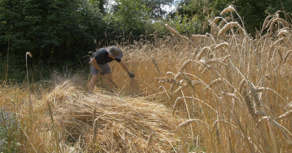 Moisson de la pépinière de blés anciens. Acclimatation de variétés paysannes cultivées dans le sud - Moulin de Sugy