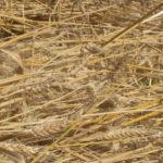 Javelle de variétés paysannes après récolte - Moulin de Sugy
