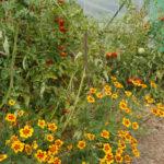 Culture de tomates et oeillets d'Inde sous tunnel et sur paillis - Moulin de Sugy