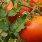 Les variétés de tomates de nos grand-parents - Moulin de Sugy