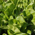 Jeunes plants de salades sucrines, variété à faible besoin en eau - Moulin de Sugy