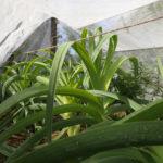 Test d'un filet pour la culture des poireaux, évitant l'usage d'insecticide - Moulin de Sugy