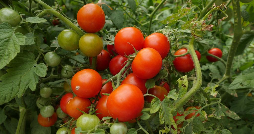 Grappe de tomates cerises XXL qui n'en portent que le nom ! Les bienfaits de l'agroécologie - Moulin de Sugy