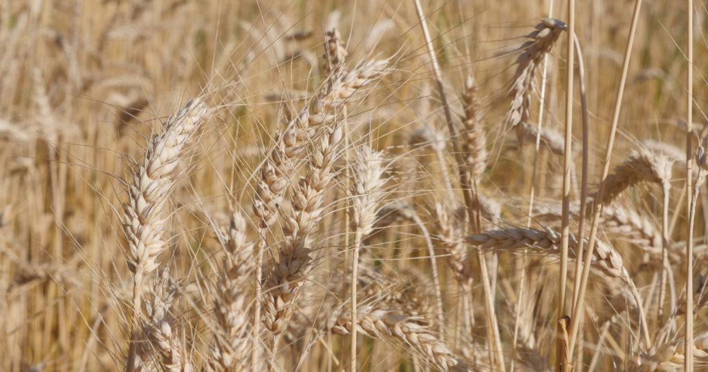 Variété paysanne de blé ancien, dite de Castelnau (de Montmirail ?) - Moulin de Sugy